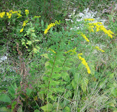 Photo: Elm-leaved Goldenrod, 9.13