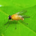 Ceromya tachinid fly