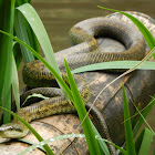 Japanese Rat Snake