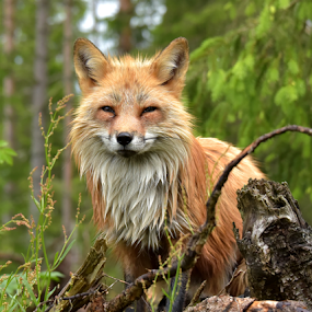 A litlle red friend   by Kristin Smestad - Animals Other ( red, fox, summer, cute, animal,  )