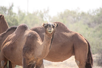 Photo: Day 160 - Herd of Camels #2