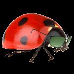 Base Jumping Ladybug Icon