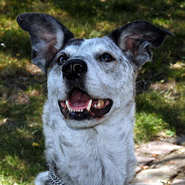 Sawyer by Chrissie Barrow - Animals - Dogs Portraits ( texan, cow dog, animal, portrait, dog )