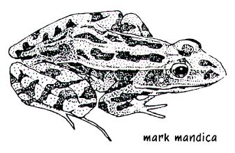 Photo: Rana pipiens | Leopard frog